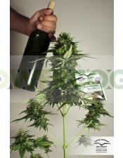 Taiga #2 (Dutch Passion) Semilla Autofloreciente de Marihuana
