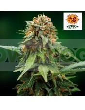 Tangerine Dream (Barney´s Farm Seeds) Semilla