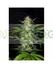The Super (Shaman Genetics) Semilla Feminizada Cannabis- Marihuana