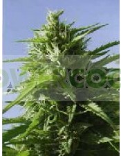 Tikal (ACE Seeds) Regular