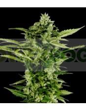 Auto-Bomb (Green House Seeds) Semillas Autoflorecientes de Marihuana