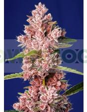 Tropicanna-Poison-F1-Fast-Version-Sweet-Seeds-feminizada.jpg