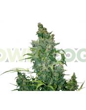 Tundra #2 Auto (Dutch Passion) Semilla Automatica Cannabis