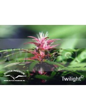 Twilight (Dutch Passion) Semilla feminizada Cannabis cogollo Morado
