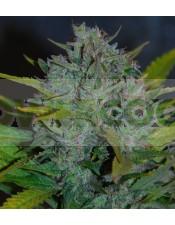 Ultraviolet (Samsara Seeds) Semilla Autofloreciente