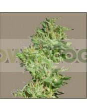 Utopia Haze (Barney´s Farm) Semilla Feminizada Ganadora de Cannabis Cup & Sativa Cup 2008. Utopia Haze (Barney´s Farm)  Todas las semillas feminizadas de Barney´s Farm Seeds en nuestras tiendas Dr.Cogollo - Powercogollo.com tu growshop más barato online N