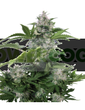 White Dwarf Auto (Buddha Seeds) Semilla Autofloreciente Cannabis Feminizada