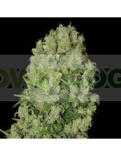 White Russian Feminizada (Serious Seeds)