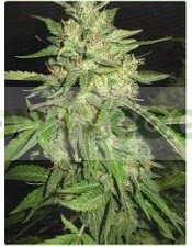 Widow (Profesional Seeds) Feminizada
