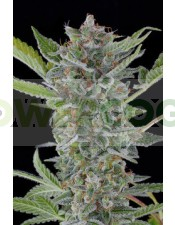Semilla White Widow Automatic (Dinafem)