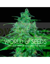Wild Thailand (World of Seeds) Regular