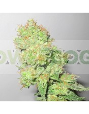Y Griega CBD (Medical Seeds) Semilla Feminizada Cannabis