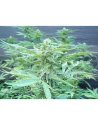 Regalo 10 Semillas Biohazard Seeds +500€