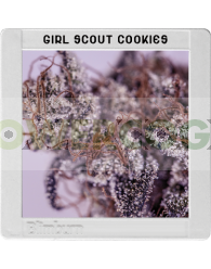 Girl Scout Cookies (Original Blimburn America Feminized) 3 Semillas