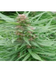 Ace Fem Mix (Ace Seeds) Semillas Feminizadas
