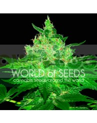 Afghan Kush Feminizada (World of Seeds)