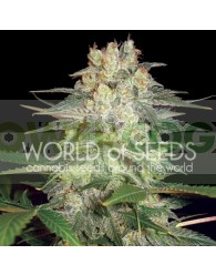 Afghan Kush Ryder Auto (World of Seeds)