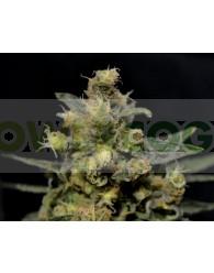 A-K (CBD Seeds) Feminizada