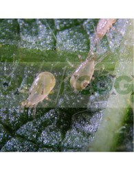 Amblyseius Californicus (Contra Araña Roja) + Transporte Incluido
