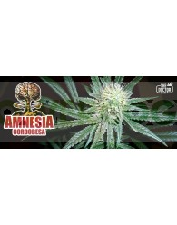 Amnesia Cordobesa Feminizada (The Doctor Seeds)