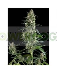 Amnesia Gold Feminizada (Pyramid Seeds)