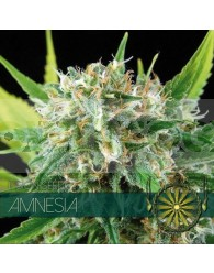 Amnesia Feminizada (Vision Seeds)