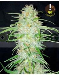 Amnesica Feminizada (Mano Verde Seeds)