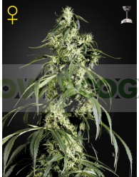 Arjan´s Haze #1 (Green House Seeds)