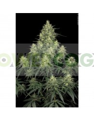 Atomical Haze(Paradise Seeds)