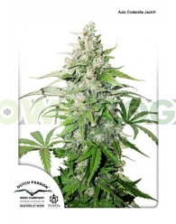 Auto Cinderella Jack (Dutch Passion)