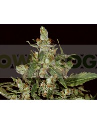 Auto Widow (Cbd Seeds)