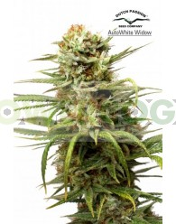Auto White Widow (Dutch Passion)