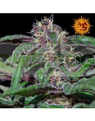 Ayahuasca Purple (Barney´s Farm)