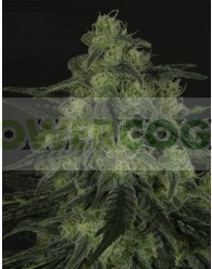 Black Valley Feminizada (Ripper Seeds)