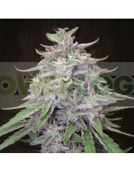 Bangi Haze (Ace Seeds) Semilla Regular