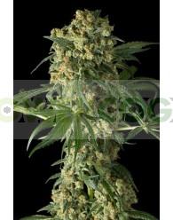 Big Kush Feminizada (Dinafem Seeds)