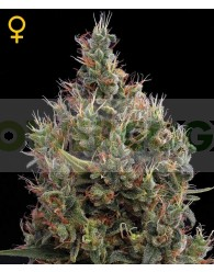 Big Bang Auto (Green House Seeds)