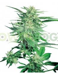 Big Bud Feminizada (Sensi Seeds)