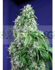 Big Devil (F1 Fast Version) Sweet Seeds