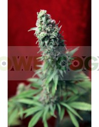 BlackDance Femininzada (Reggae Seeds)