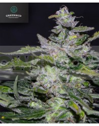 BLUEBERRY 99 (GREENBUD SEEDS)