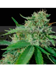 Brazil Amazonia (World of Seeds) Regular