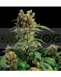 California Hash Plant Feminizada (Dinafem)