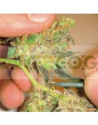 Channel + (Medical Seeds) Semilla Feminizada Cannabis