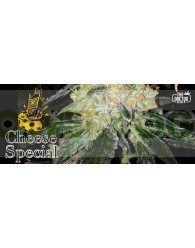 Cheese Special (The Doctor Seeds) Feminizada