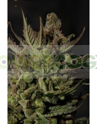 Cheese Feminizada (Dinafem Seeds)