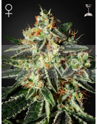 GH Cheese Feminizada (Green House Seeds)