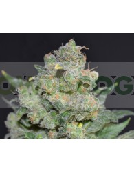 Chesse (CBD Seeds)