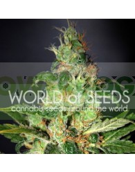 Chronic Haze (World of Seeds) Feminizada