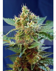 Cream Mandarine XL Auto (Sweet Seeds)-100 Semillas